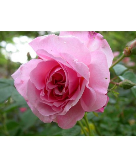 Rosa 'Fritz Nobis' - Rosaceae - Rosier