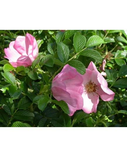 Rosa 'Fru Dagmar Hastrup' - Rosaceae - Rosier