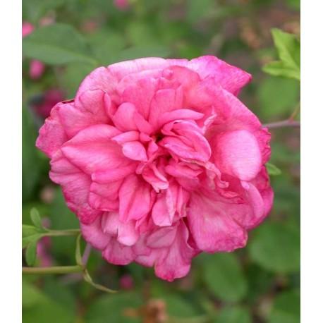 Rosa 'Général Schablikine' - Rosaceae - Rosier