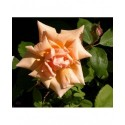 Rosa 'Gabrielle Noyelle' - Rosaceae - Rosier