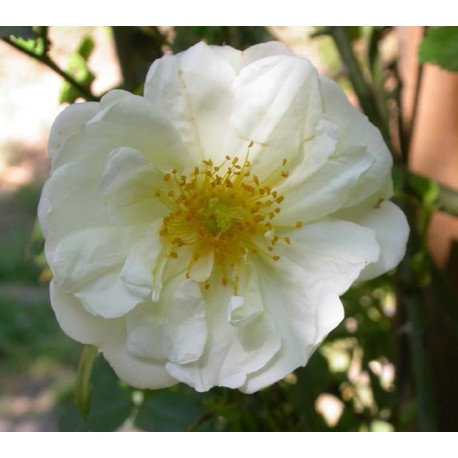 Rosa  'Gardenia' - Rosaceae - Rosier