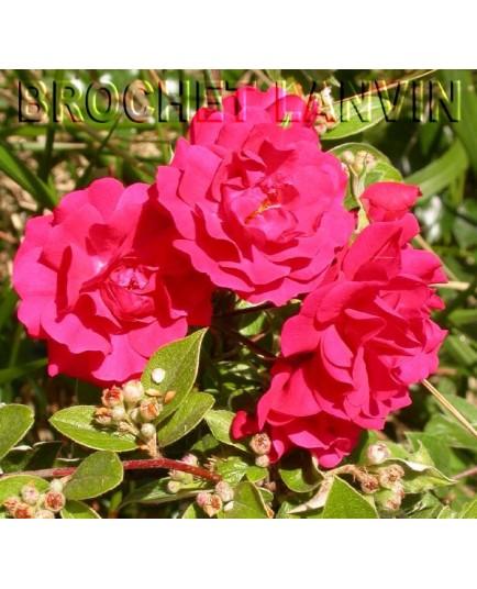 rosa gartner freude 39 rosier couvre sol. Black Bedroom Furniture Sets. Home Design Ideas