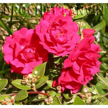 Rosa 'Gartner Freude'®' - Rosaceae - Rosier couvre sol