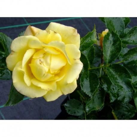 Rosa 'Gelber Engel' - Rosaceae - Rosier arbuste