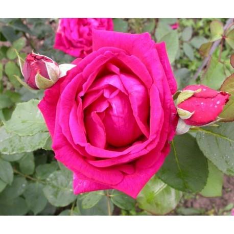 Rosa 'George Dickson' - Rosaceae - Rosier