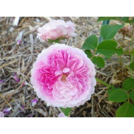 Rosa  'Geschwindt's orden' - Rosaceae - Rose ancienne- rosier grimpant