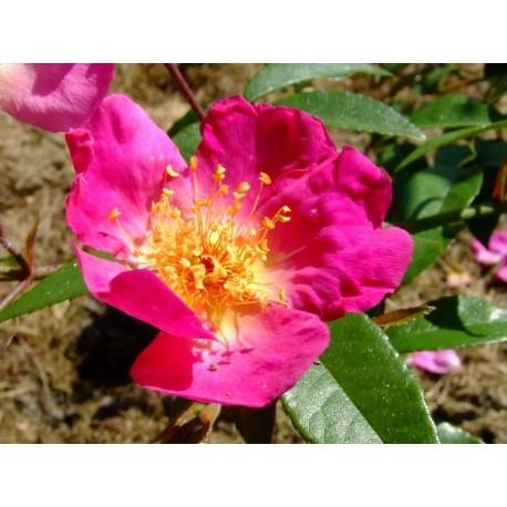 Rosa  'Ghisang' - Rosaceae - Rosier grimpant