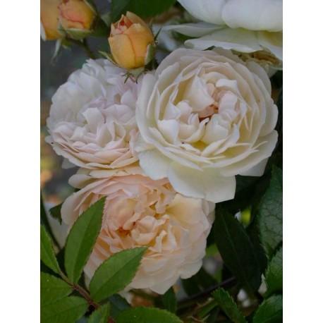 Rosa 'Ghislaine de Féligonde' - Rosaceae - Rose, Rosier grimpant