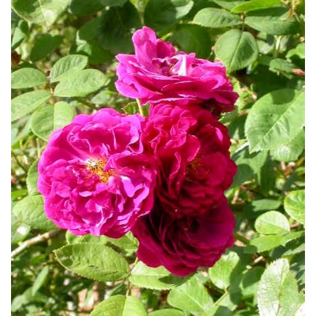 Rosa  'Gipsy Boy' - Rosaceae - Rosier