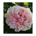 Rosa  'Gloire de Dijon' - Rosaceae - Rosier