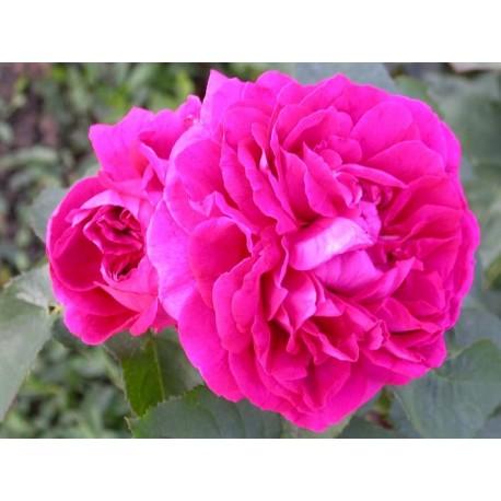 Rosa 'Gloire de Ducher' - Rosaceae - Rosier