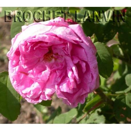 Rosa 'Gloire des Mousseuses' - Rosaceae - Rosier