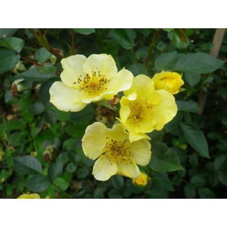 Rosa 'Spahi' - Rosaceae - Rosier nain
