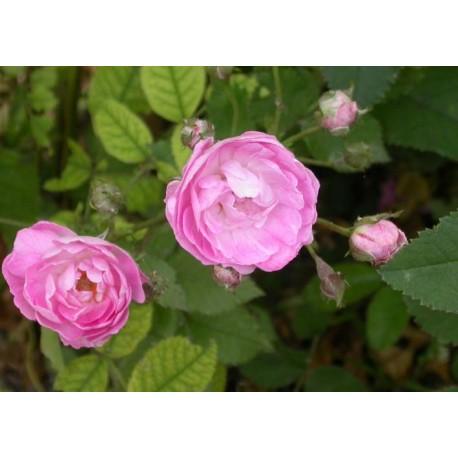 Rosa 'Gloire des Polyantha- Rosaceae - Rosier