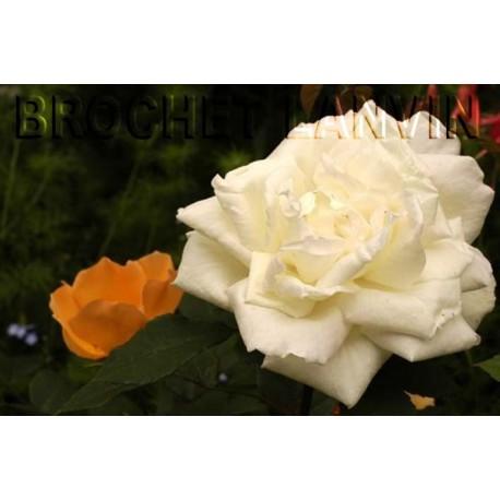 Rosa 'Gloire Lyonnaise' - Rosaceae - Rosier