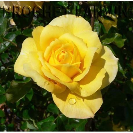 Rosa 'Gold Glow' - Rosaceae - Rosier nain à bouquet