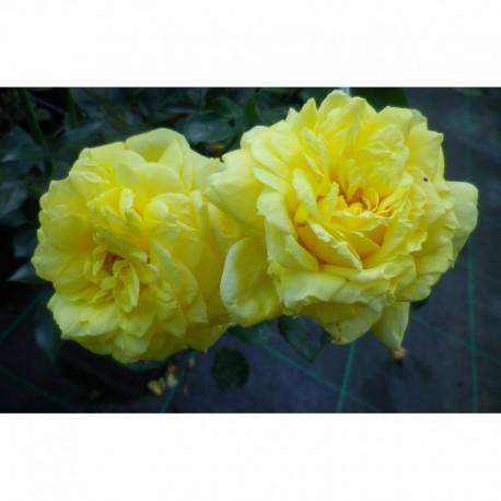 Rosa 'Golden Delight' - Rosaceae - Rosier polyantha