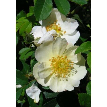 Rosa 'Golden Mozart' - Rosaceae - Rosier
