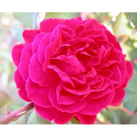 Rosa 'Grüss an Teplitz' - Rosaceae - Rosier