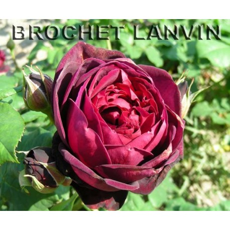 Rosa 'Grafin von Hardenberg' - Rosaceae - Rosier