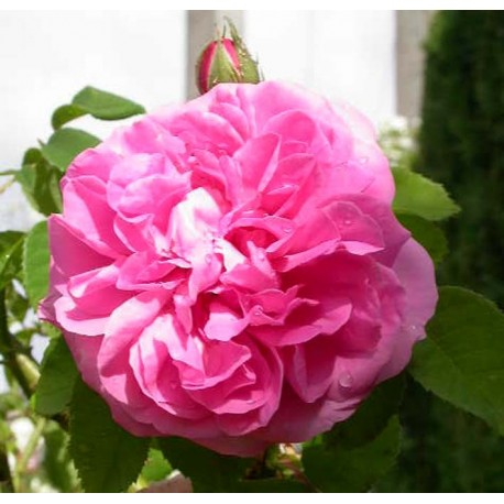 Rosa 'Gros chou de Hollande' - Rosaceae - Rosier
