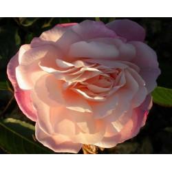 Rosa  'Gruss an Aachen' - Rosaceae - Rosier nain