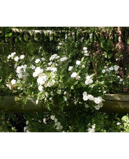 Rosa  'Guirlande d'Amour (R)' - Rosaceae - Rosier