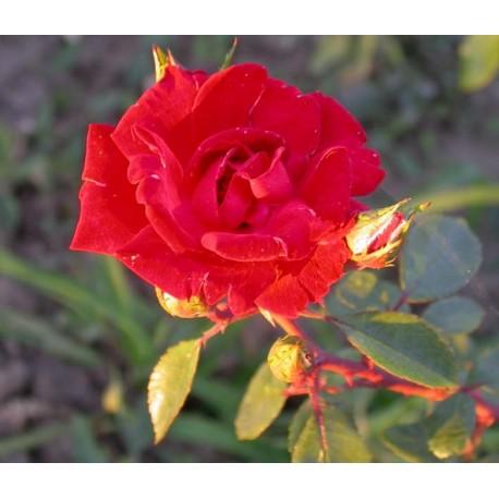 Rosa  'Guirlande Fleurie' - Rosaceae - Rosier