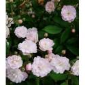 Rosa  'Guirlande rose' - Rosaceae - Rosier