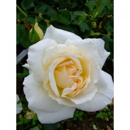 Rosa 'Hélène de Gerlache' - Rosaceae - Rosier