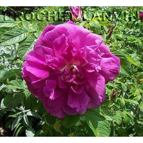 Rosa 'Hansa' - Rosaceae - Rosier