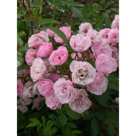Rosa 'Heavenly Pink (R)' - Rosaceae - Rosier