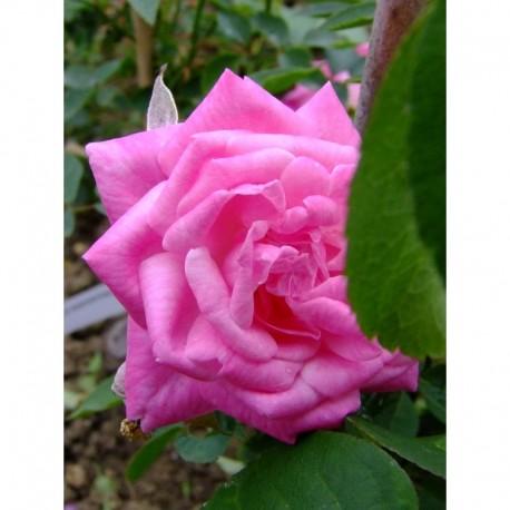 Rosa 'Hermosa' - Rosaceae - rosier