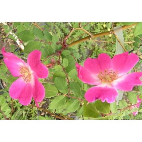 Rosa 'Higdownensis' - Rosaceae - Rosier botanique