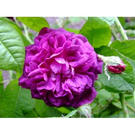 Rosa 'Hippolyte' - Rosaceae - Rosier