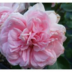 Rosa 'Home & Garden' - Rosaceae - Rosier