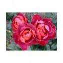 Rosa 'Hot Chocolat' - Rosaceae - Rosier