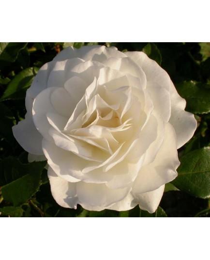 Rosa  'Iceberg clg' - Rosaceae - Rosier