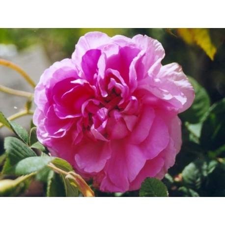 Rosa 'Impératrice Joséphine' - Rosaceae - Rosier