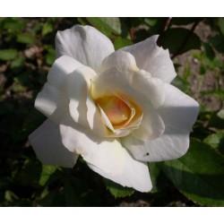 Rosa 'Irène de Danemak' - Rosaceae - Rosier