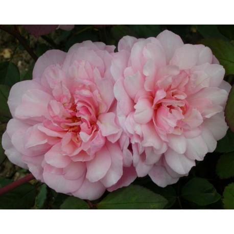 Rosa 'Irène Watts' - Rosaceae - Rosier nain