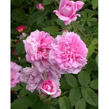 Rosa 'Ispahan' - Rosaceae - Rosier