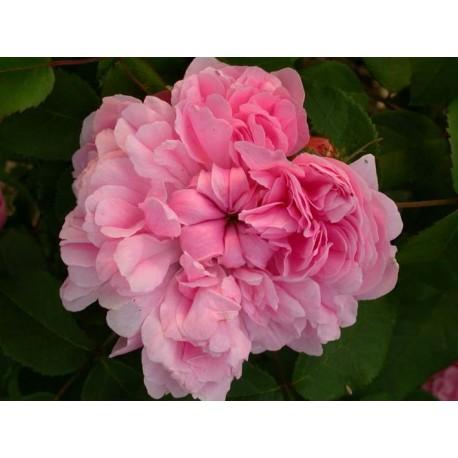 Rosa 'Jacques Cartier' - Rosaceae - Rosier