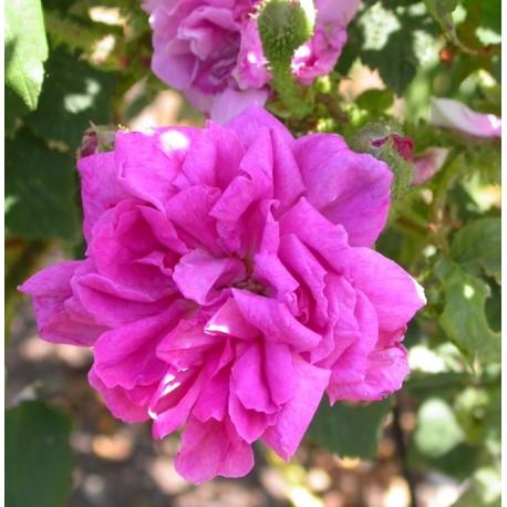 Rosa 'Japonica Muscosa' - Rosaceae - Rosier mousseux