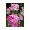 Rosa 'Jasmina' - Rosaceae - Rosier grimpant