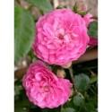 Rosa  'Jean Girin' - Rosaceae - Rosier