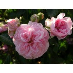 Rosa 'Jean Mermoz' - Rosaceae - Rosier nain