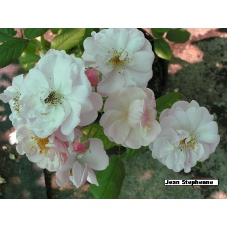 Rosa 'Jean Stephenne' - Rosaceae - rosier