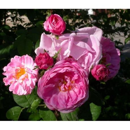 Rosa 'Jeanne de Montfort' - Rosaceae - Rosier