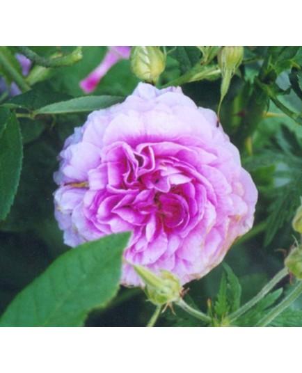 Rosa 'Jenny Duval' - Rosaceae - Rosier